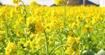 今年はもう見頃かも?渥美半島で「菜の花まつり」で春を先取り! - S  7217179 1 210x110
