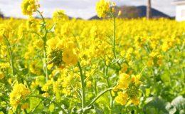 今年はもう見頃かも?渥美半島で「菜の花まつり」で春を先取り! - S  7217179 1 260x160