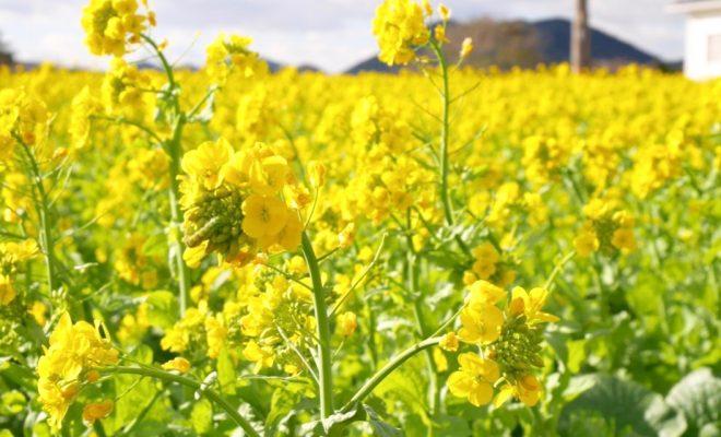 今年はもう見頃かも?渥美半島で「菜の花まつり」で春を先取り! - S  7217179 1 660x400