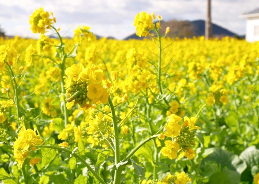 今年はもう見頃かも?渥美半島で「菜の花まつり」で春を先取り!