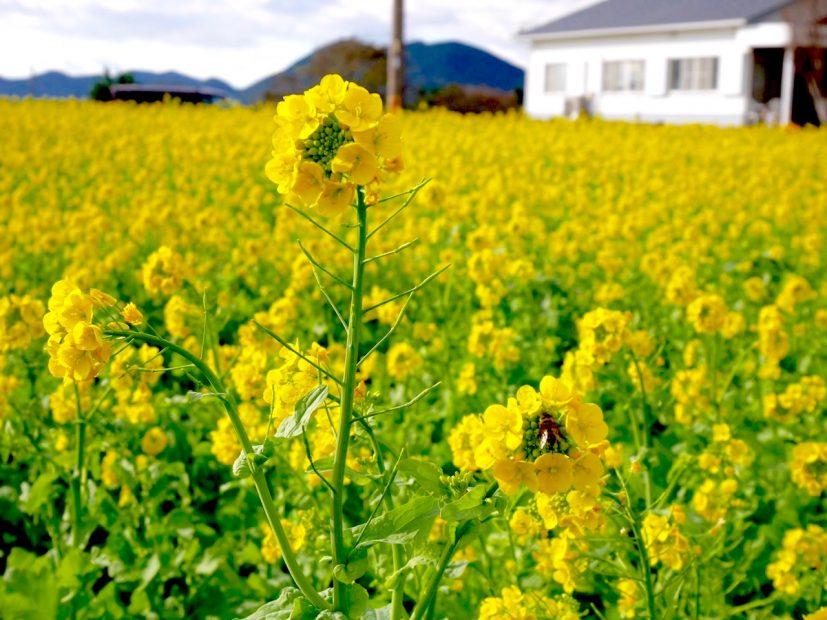 今年はもう見頃かも?渥美半島で「菜の花まつり」で春を先取り! - S  7217180 1 827x620