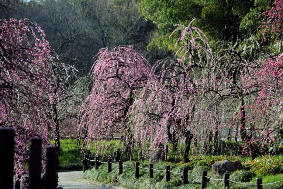 春到来!しだれ梅まつりがdelaふぁーむで開催中【3月6日まで】