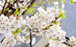 今年のお花見はどこに行く?名古屋から気軽に行ける桜の名所6選 - DSC 0065 260x160