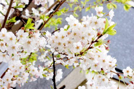今年のお花見はどこに行く?名古屋から気軽に行ける桜の名所6選
