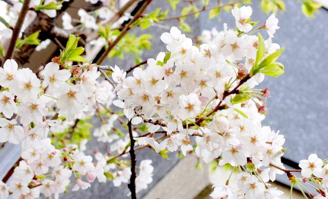 今年のお花見はどこに行く?名古屋から気軽に行ける桜の名所6選 - DSC 0065 660x400