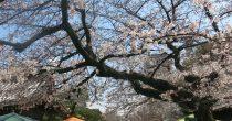 桜とお寺に囲まれてお散歩しよう。3月開催「東別院手づくり朝市」に行ってきました - IMG 4442 210x110