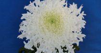 まるで雪の華。新種の菊が久屋大通庭園フラリエで見られるのは10月30日まで - 00 6 210x110