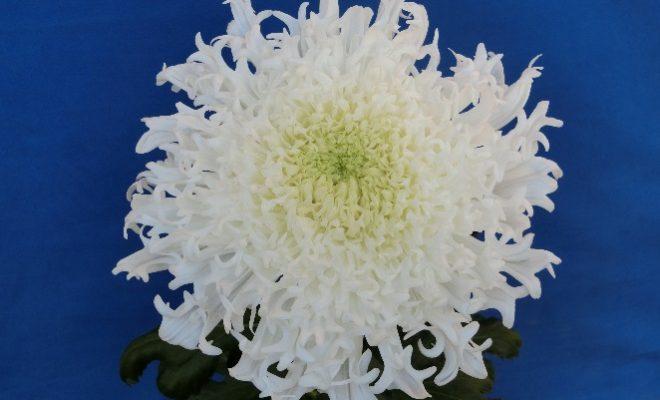 まるで雪の華。新種の菊が久屋大通庭園フラリエで見られるのは10月30日まで - 00 6 660x400