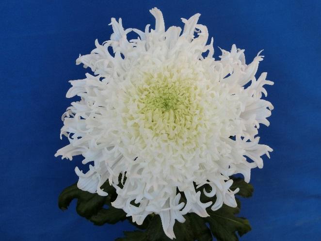 まるで雪の華。新種の菊が久屋大通庭園フラリエで見られるのは10月30日まで