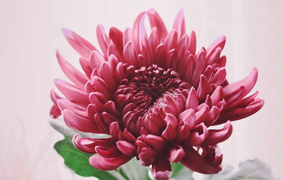 まるで雪の華。新種の菊が久屋大通庭園フラリエで見られるのは10月30日まで - 005 979x620
