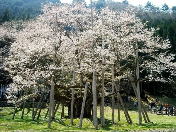 桜の美しさは、春の美しさ。愛知・岐阜のお花見スポット7選 - 716f01ea9cde468fae2c2ef079287be6
