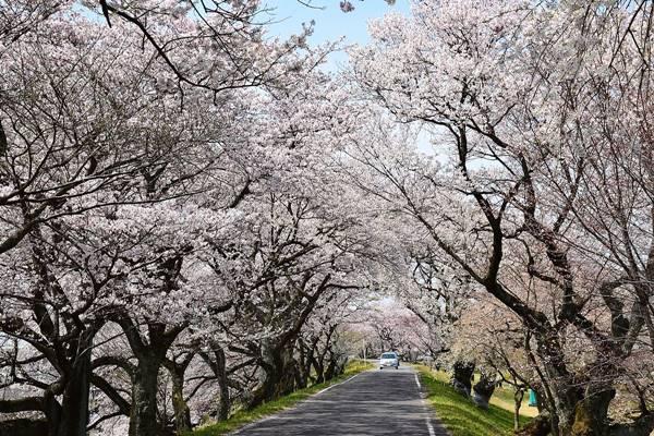 桜の美しさは、春の美しさ。愛知・岐阜のお花見スポット7選 - Kisogawazutsumi
