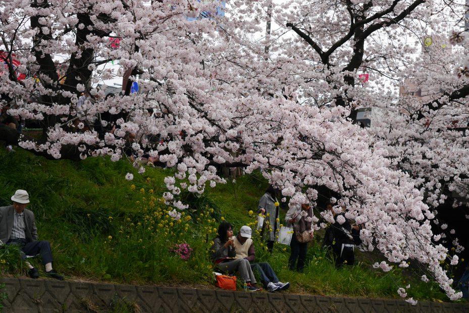 一度は訪れたい!さくらの名所100選の岩倉市桜まつりとのんぼり洗いの風物詩 - P1060754 929x620