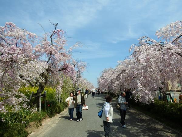 桜の美しさは、春の美しさ。愛知・岐阜のお花見スポット7選 - Tougokusan1