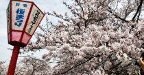 一度は訪れたい!さくらの名所100選の岩倉市桜まつりとのんぼり洗いの風物詩 - sakura 1 210x110