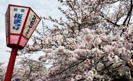 一度は訪れたい!さくらの名所100選の岩倉市桜まつりとのんぼり洗いの風物詩 - sakura 1 260x160