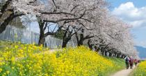 桜の美しさは、春の美しさ。愛知・岐阜のお花見スポット7選 - toyokawa 210x110