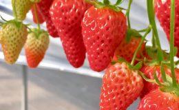 いちごとハーブを堪能、知多『いちご農園ソービー』が営業開始! - ichigo 260x160