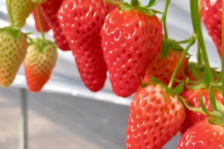 いちごとハーブを堪能、知多『いちご農園ソービー』が営業開始!