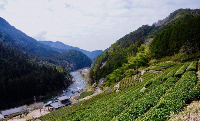 今年もお茶の季節が到来!お茶の価値観が変わる体験、岐阜県東白川村に行ってきた - DSC 0838 660x400