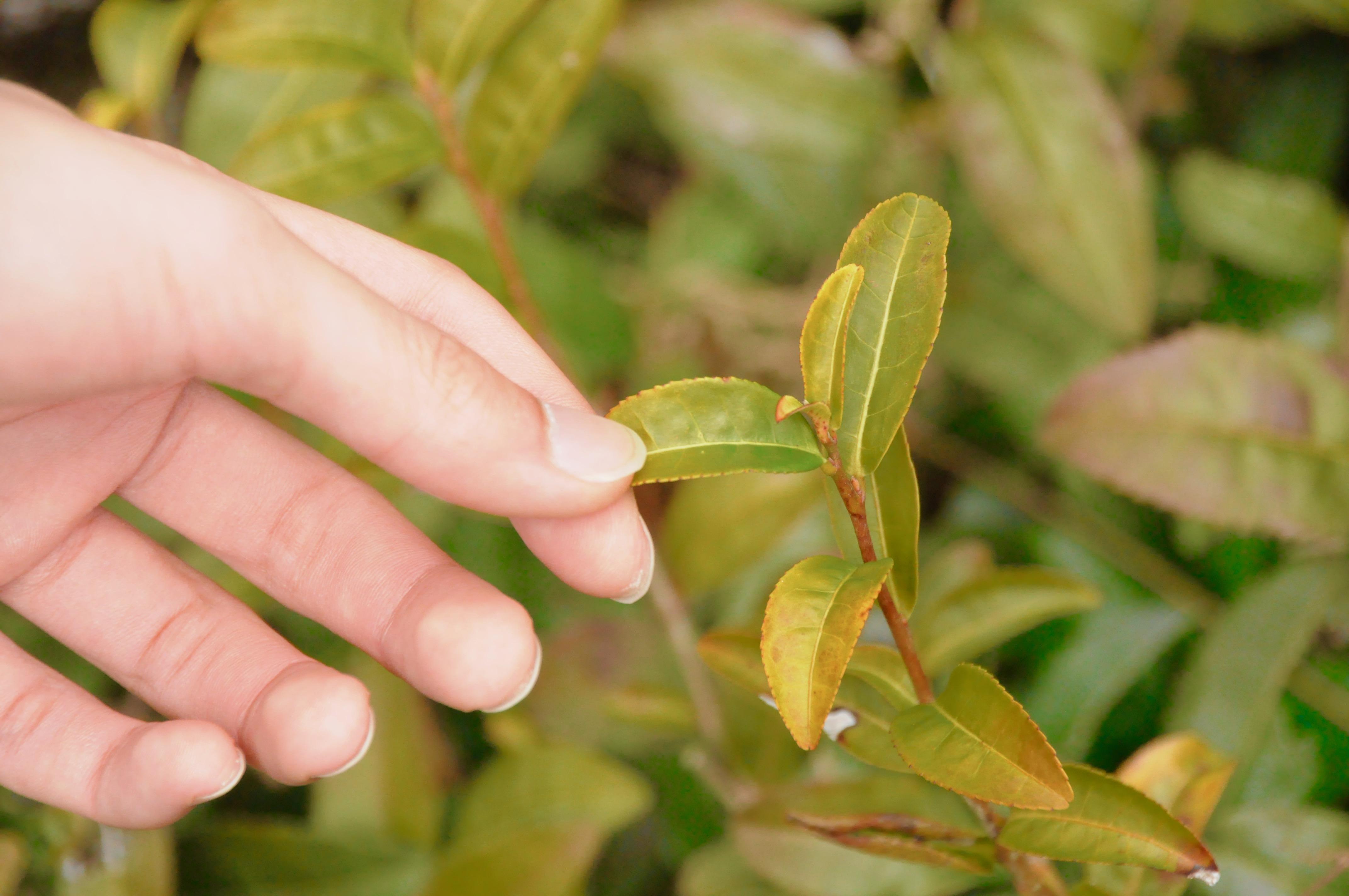 今年もお茶の季節が到来!お茶の価値観が変わる体験、岐阜県東白川村に行ってきた - DSC 0894