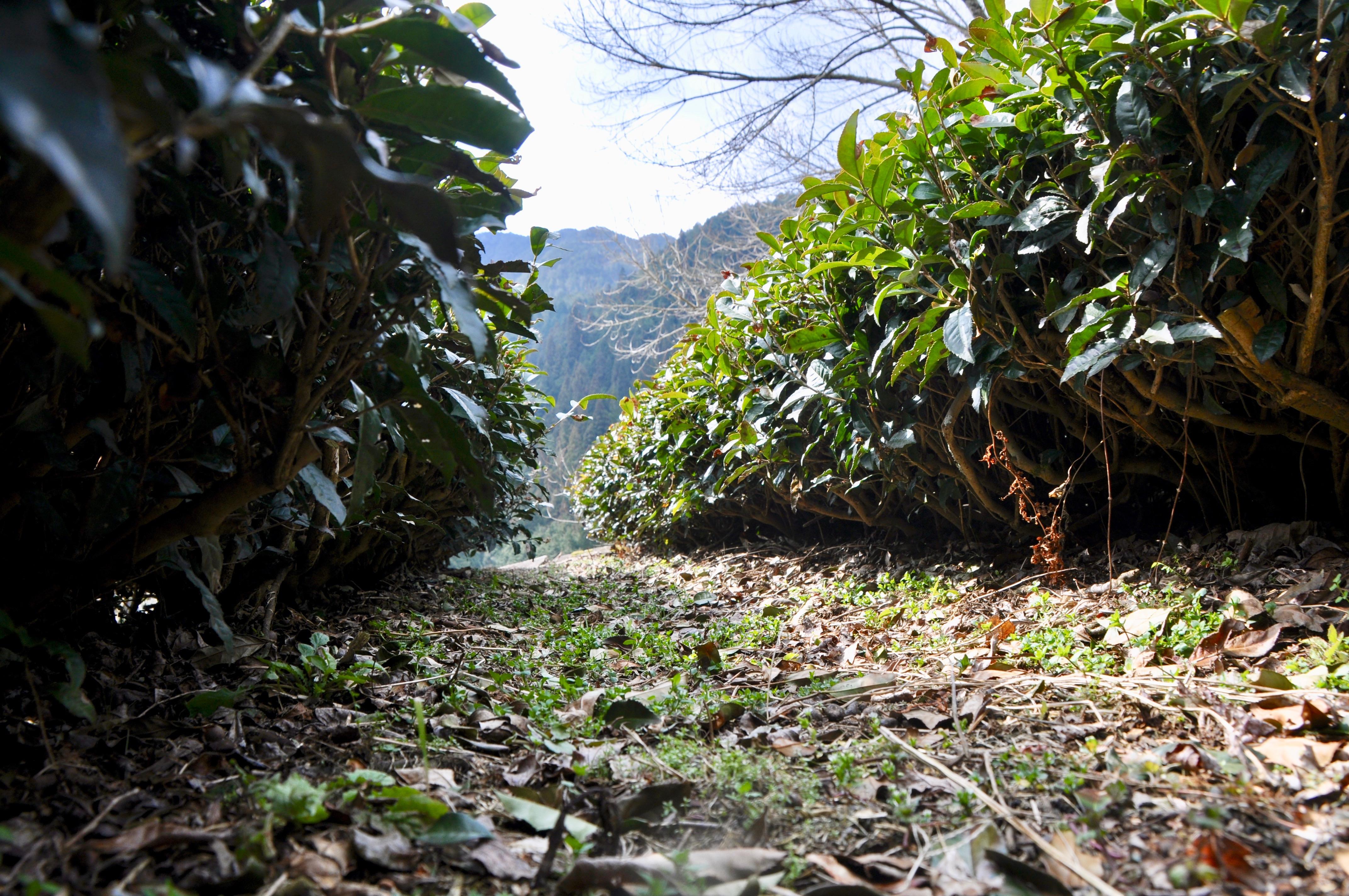 今年もお茶の季節が到来!お茶の価値観が変わる体験、岐阜県東白川村に行ってきた - DSC 0915