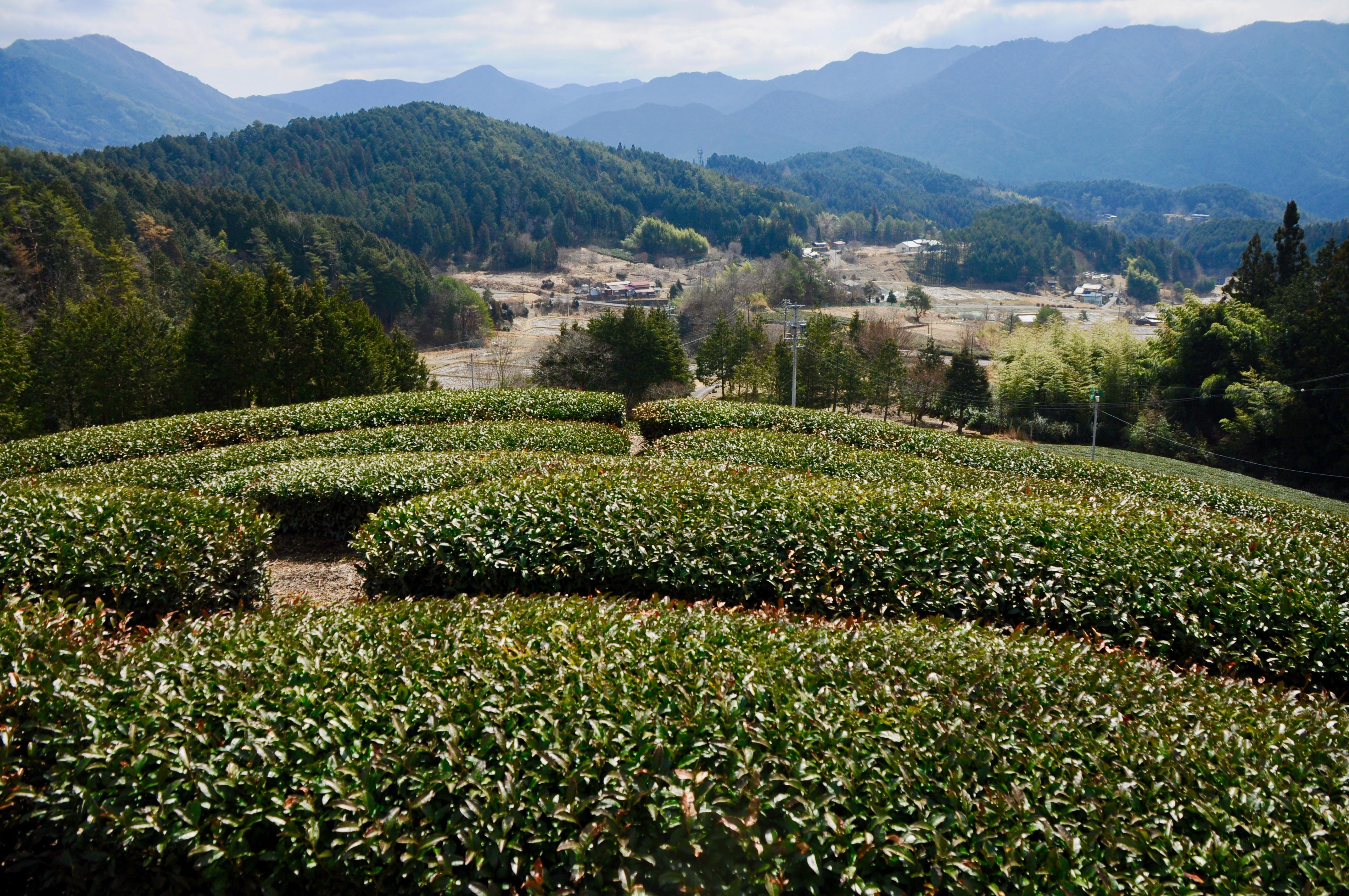 今年もお茶の季節が到来!お茶の価値観が変わる体験、岐阜県東白川村に行ってきた - DSC 0997