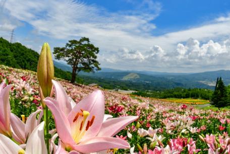 360万輪のユリに囲まれて夏の思い出作り。岐阜・郡上『ダイナランドゆり園』
