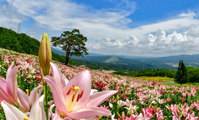 360万輪のユリに囲まれて夏の思い出作り。岐阜・郡上『ダイナランドゆり園』 - f0b9b409a53cdb177d0586a943eca36b
