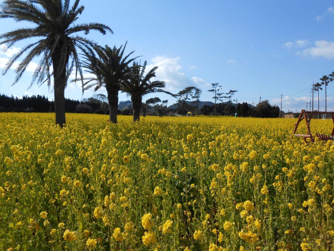 春を告げる黄色の絨毯「渥美半島 菜の花まつり」が今年も開催中!