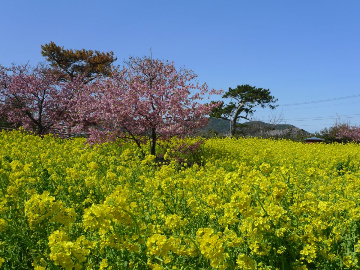 春を告げる黄色の絨毯「渥美半島 菜の花まつり」が今年も開催中! - 03