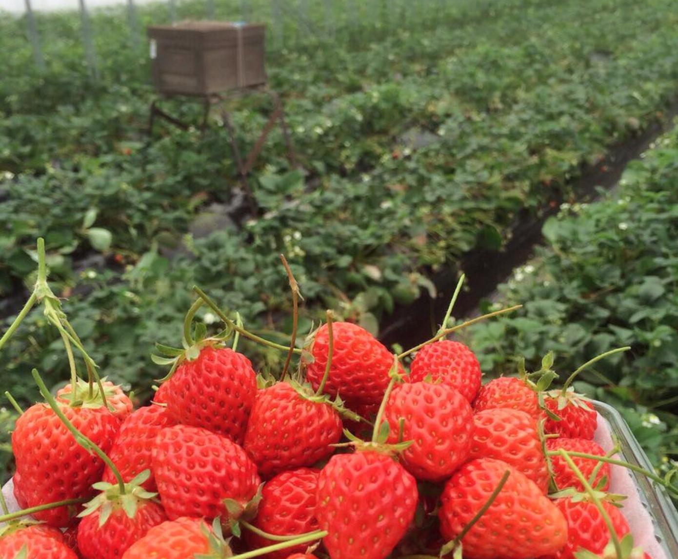 美味しくて可愛い苺スイーツが食べたいなら、岡崎のいちご農家「伊藤園」へ - 713dea155dc290b149272d11618e23dc