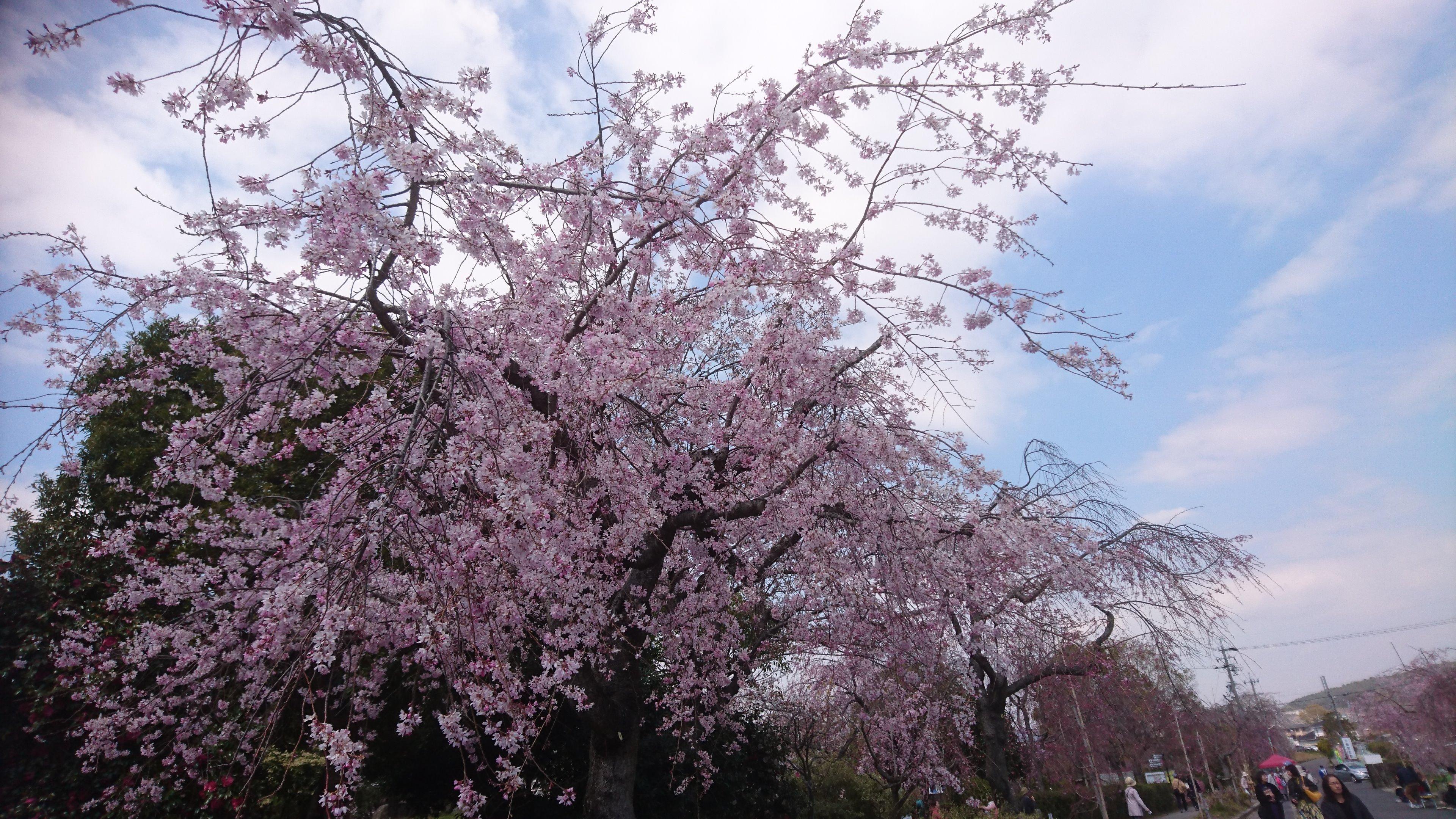 美しい桜で春を満喫。名古屋から行けるお花見スポット6選【2020】 - D3TYWywU0AQBXyH