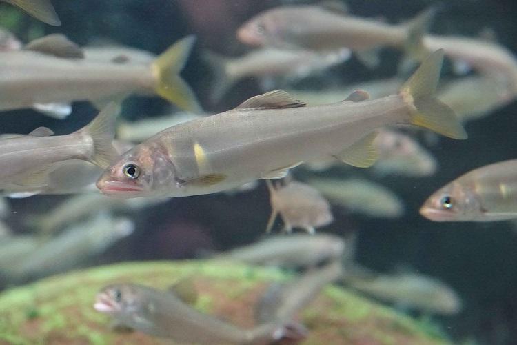 長良川と世界の淡水魚のヒミツを探ろう!「世界淡水魚園水族館 アクア・トト ぎふ」 - f2228f54f785da03d84e5d5fbdcf4e3e