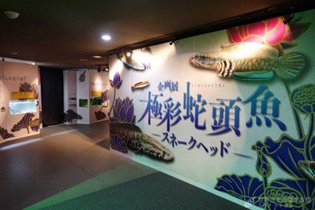 「アクア・トトぎふ」で極彩蛇頭魚(スネークヘッド)が2021年秋まで展示中!【あいなごPRESS】
